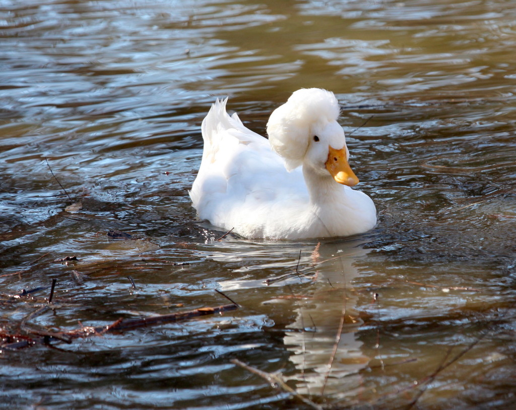 Even Texas Ducks have Big Hair