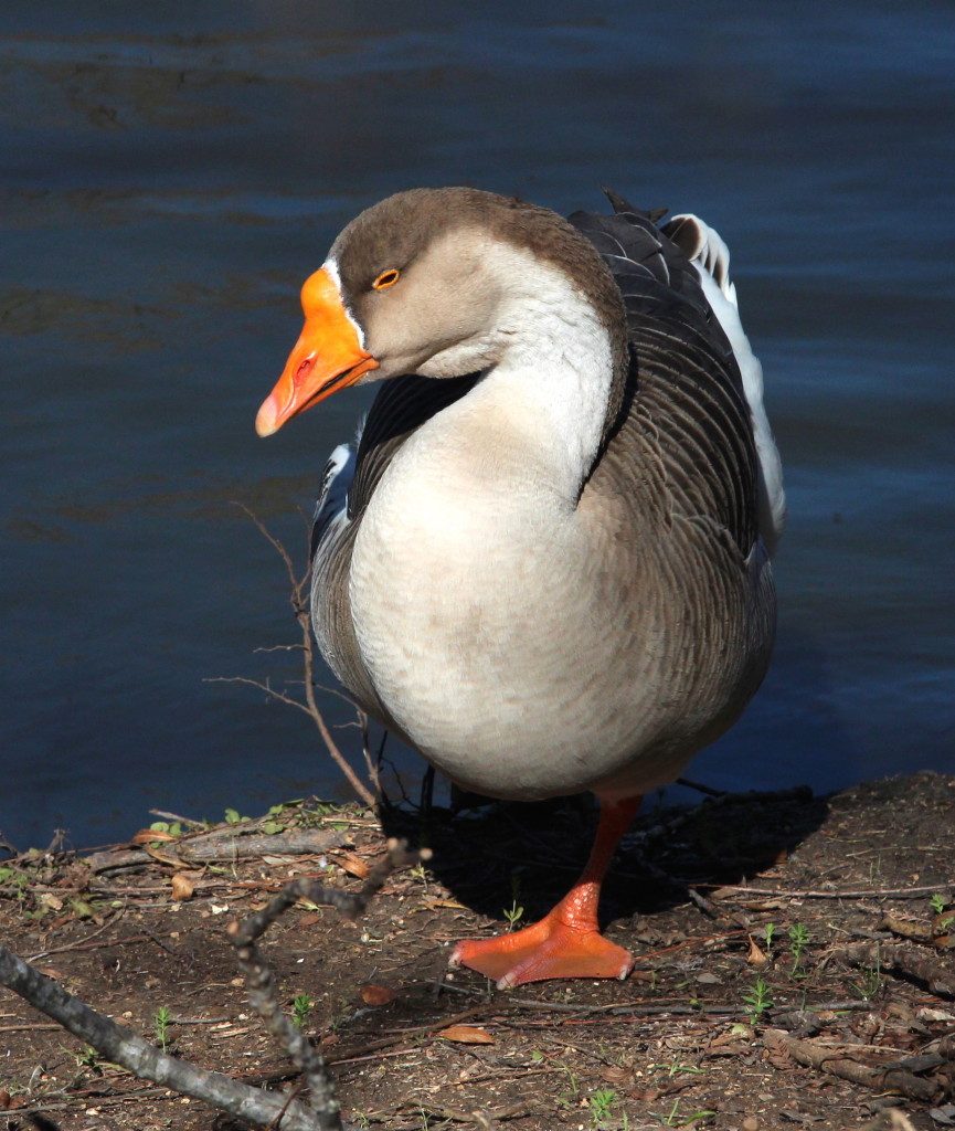 Goose, Resting